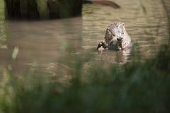 Lontra americana Fotografia Stock
