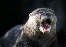 Lontra arrabbiata Fotografie Stock Libere da Diritti