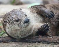 Lontra bonito no ajuste natural que coloca na terra Imagens de Stock Royalty Free