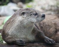Lontra bonito no ajuste natural que coloca na terra Fotos de Stock Royalty Free