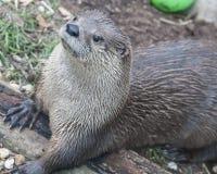 Lontra bonito no ajuste natural que coloca na terra Fotografia de Stock Royalty Free