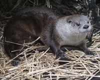 Lontra bonito no ajuste natural que coloca na terra Foto de Stock Royalty Free