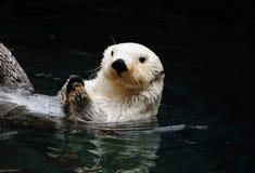 Lontra branca Fotografia de Stock Royalty Free