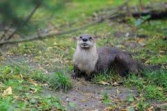 Lontra canadense Imagem de Stock Royalty Free
