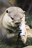 Lontra che mangia un pesce Fotografie Stock