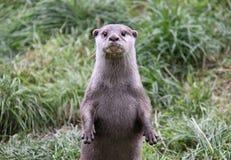 Lontra che si leva in piedi in su esaminante macchina fotografica Fotografia Stock Libera da Diritti