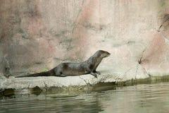 Lontra che si siede su una roccia in uno zoo fotografia stock libera da diritti