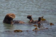Lontra com cabeça e pés acima Foto de Stock Royalty Free