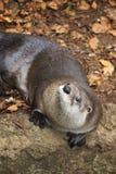 Lontra curiosa Fotografie Stock