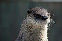 Lontra curiosa Imagens de Stock Royalty Free