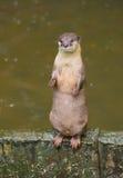 lontra da acqua Fotografie Stock