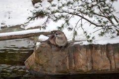 Lontra de Canadian River (canadensis do Lutra) Fotografia de Stock