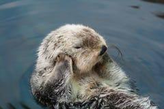 Lontra de mar imagem de stock