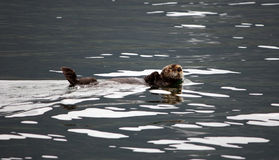 Lontra de mar foto de stock royalty free