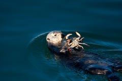 Lontra de mar Imagens de Stock Royalty Free