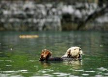Lontra de mar Imagens de Stock