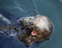 Lontra de mar Imagem de Stock Royalty Free