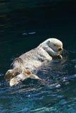 Lontra de mar da natação Fotos de Stock