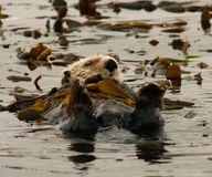 Lontra de mar de Califórnia na alga fotos de stock