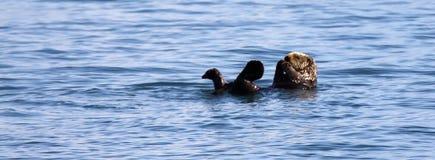 Lontra de mar - parque nacional dos Fjords de Kenai Imagem de Stock Royalty Free