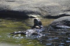 Lontra de mar que come moluscos Imagens de Stock