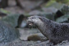 Lontra de rio Fotografia de Stock