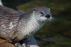 Lontra de rio canadense foto de stock