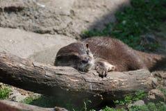 Lontra de rio de relaxamento que dorme em um log caído fotos de stock