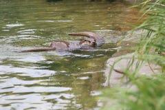Lontra de rio europeia Imagens de Stock Royalty Free