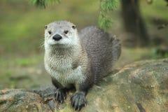 Lontra de rio norte-americana Fotos de Stock