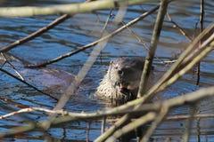 Lontra de rio que come um peixe Imagens de Stock Royalty Free