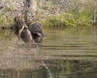 Lontra de rio que vai na água Imagens de Stock