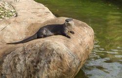 Lontra di fiume Fotografia Stock