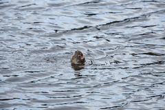 Lontra di fiume Fotografie Stock Libere da Diritti