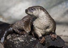 Lontra di fiume Immagine Stock Libera da Diritti