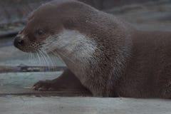 Lontra di fiume allo zoo di Ekaterinburg immagini stock