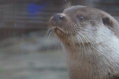 Lontra di fiume allo zoo di Ekaterinburg fotografia stock libera da diritti