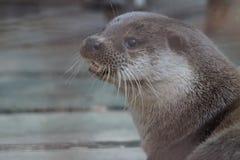 Lontra di fiume allo zoo di Ekaterinburg fotografia stock