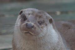 Lontra di fiume allo zoo di Ekaterinburg immagine stock
