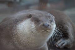 Lontra di fiume allo zoo di Ekaterinburg fotografie stock