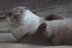 Lontra di fiume allo zoo di Ekaterinburg immagine stock libera da diritti