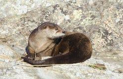 Lontra di fiume che si siede su una roccia immagine stock libera da diritti