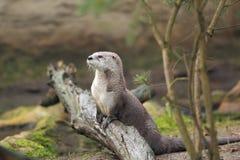 Lontra di fiume del Nord Immagini Stock