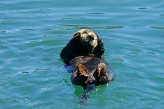 Lontra di fiume del Nord che fa galleggiare insieme pancia su in un'acqua blu luminosa fotografia stock libera da diritti