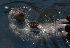 Lontra di fiume euroasiatica Fotografie Stock Libere da Diritti