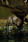 Lontra di fiume gigante Fotografia Stock