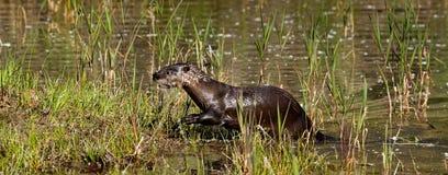 Lontra di fiume nordamericana fotografia stock libera da diritti