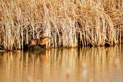 Lontra di fiume nordamericana Immagini Stock