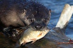 Lontra di fiume nordamericana che tiene un pesce nella sua bocca (Lontra c Immagine Stock