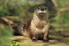 Lontra di fiume nordica Fotografia Stock Libera da Diritti